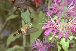 HUMMINGBIRD CLEARWING MOTH NECTARING ON BEE BALM FLOWERS