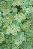 MAPLE LEAFCUTTER MOTH CATERPILLAR DAMAGE