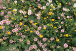 CROWN VETCH AND BIRDFOOT TREFOIL