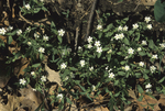 GREAT CHICKWEED