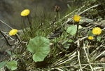 COLTSFOOT FLOWERS AND LEAVES