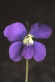 COMMON BLUE VIOLET FLOWER