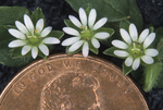 COMMON CHICKWEED FLOWERS AND PENNY