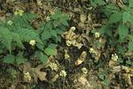 WILD LEEK or RAMP FLOWERS