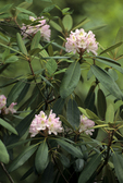 WHITE/PINK RHODODENDRON