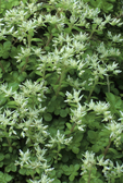 WHITE STONECROP or SEDUM