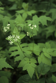 SMOOTH SWEET CICELY or ANISEROOT