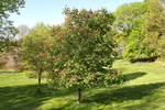 Red buckeye tree in full bloom