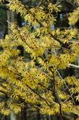 Witch-hazel tree in full flower