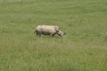 Southern White or Square-lipped rhinoceros a the Wilds in OH