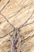 Long-horned spined oak borer beetle on oak log