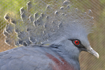 Feathered crest and head of Victoria Crowned Pigeon