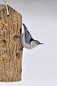 White-breasted nuthatch at suet/peanut butter feeder in winter