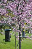 American goldfinchs feeding on thistle seed feeder