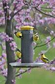 Four American Goldfinches on thistle feeder