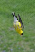 American Goldfinch trapped in mist net