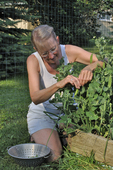 Lady picking peas on trellis in raised bed in vegetable garden.  *Model Released