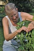 Lady picking peas
