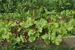 Varieties of leaf lettuce growing in raised bed