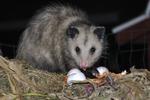 Opossum Visiting Compost Pile at Night