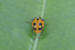 Parenthesis Ladybug Beetle Walking on Leaf