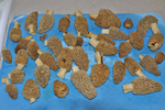 Yellow morel mushrooms recently picked, cleaned and ready to cook