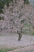 Magnolia tree in flower with ground covered with fallen flower petals