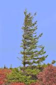 Flag tree in the Dolly Sods Wilderness in WV