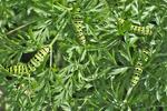 Eastern black swallowtail butterfly caterpillar feeding on carrot leaves