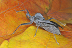 Adult wheel bug on fall colored leaves; note beak