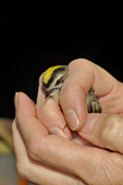 Golden-crowned kinglet female after being caught in mist net by bird bander