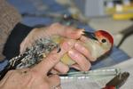 Red-bellied woodpecker male held by bird bander