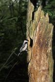 Carolina chickadee at nest cavity...*Note bird band on leg