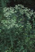 Boneset, a medicinal plant used as a diaphoretic