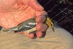Black-throated green warbler just taken from mist net