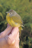 Nashville warbler just taken from mist net