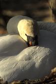 Resting mute swan