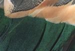 European Green-winged Teal wing feathers  Eurasia