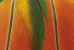 Orange-winged Amazon Parrot tail feathers