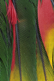 Papuan Lory tail feathers