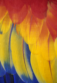 Scarlet Macaw wing feathers