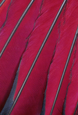 White-crested Turaco wing feathers