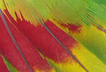 White-fronted Amazon Parrot tail feathers