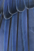 Mountain Bluebird wing feathers