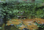 Green frog face-to-face in pond