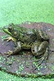 Green Frog portrait on rock with duckweed