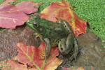 Green Frog portrait with fall leaves