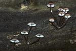 Bleeding mycena mushroom