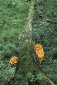 Chicken of the woods mushroom