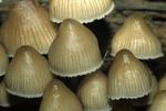 Clustered fairy helmet mushroom